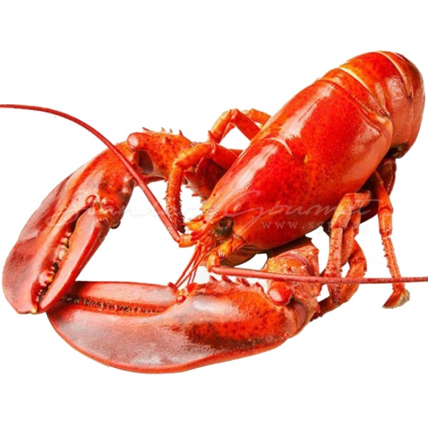 Cooked Boston Lobster